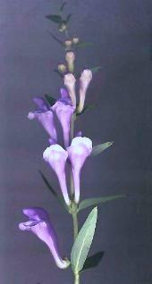 Šišák bajkalský - Kvetoucí lodyha