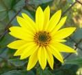 Slunečnice topinambur - květ -